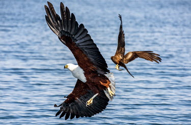 Malawi - lake Malawi - The African fish eagle at Lake malawi. This species is still quite common.../Raymond Rutting